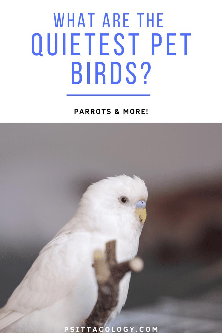 White male albino budgie (Melopsittacus undulatus) | 9 quiet pet birds