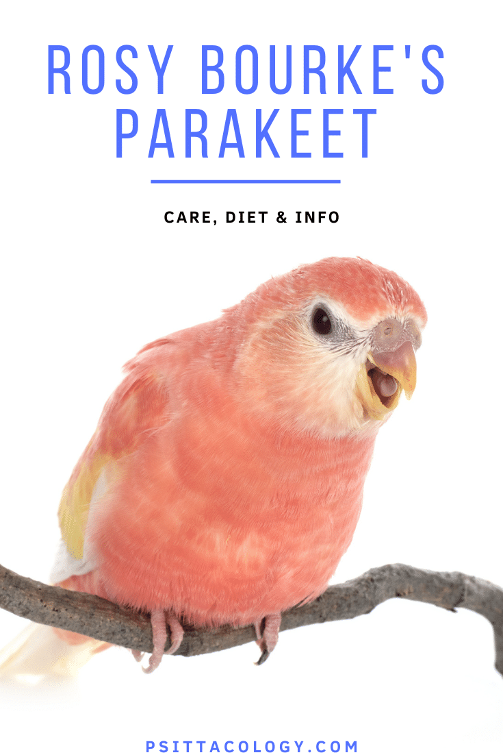 Full pink rosy bourke parakeet with open beak | Bourke's parakeet care & info