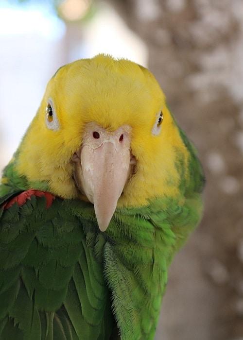 Headshot of double yellow headed Amazon parrot (Amazona oratrix).