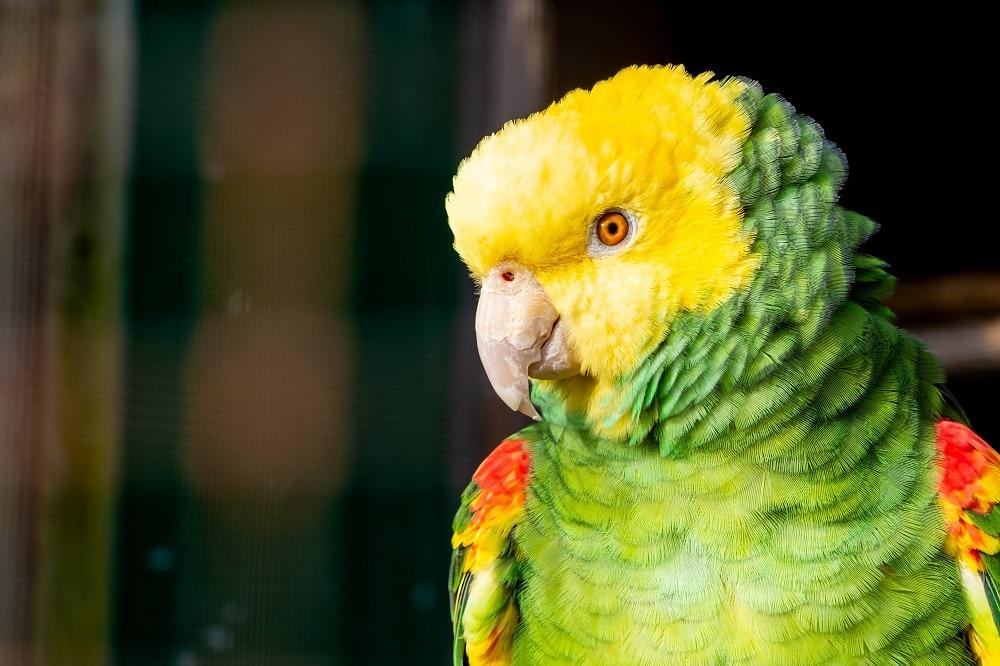 Double yellow headed Amazon parrot headshot in the sun.