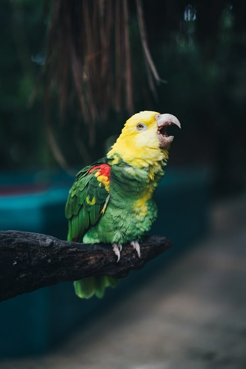 Double yellow headed Amazon parrot (Amazona oratrix) perched on wooden branch with open beak.