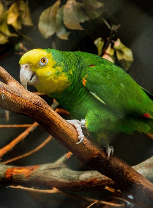 Amazona oratrix parrot perched on branch.