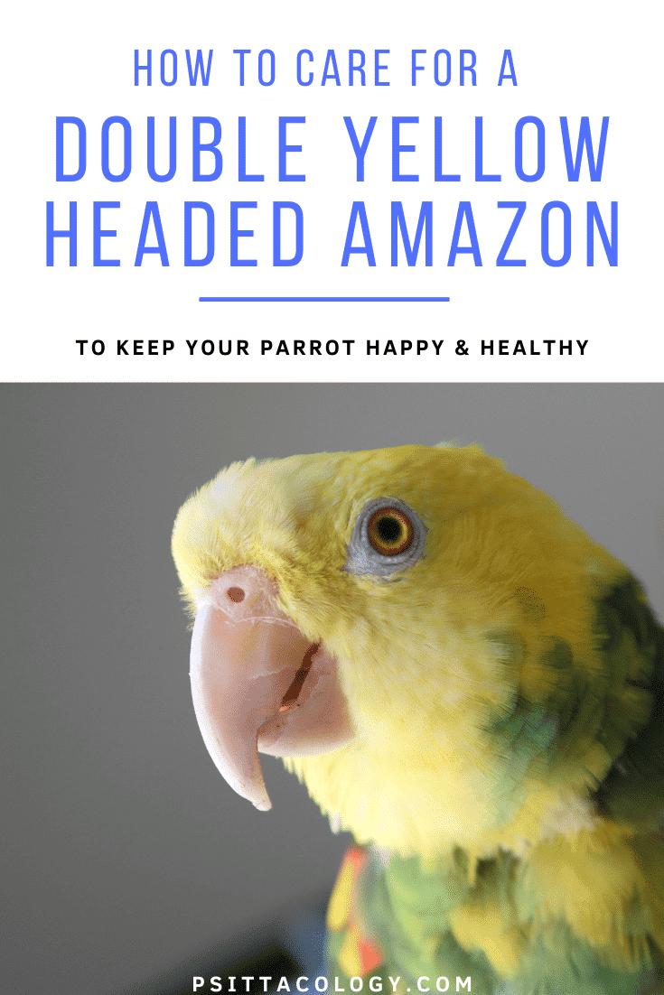 Double headed yellow Amazon parrot headshot close-up | Amazona oratrix care & info