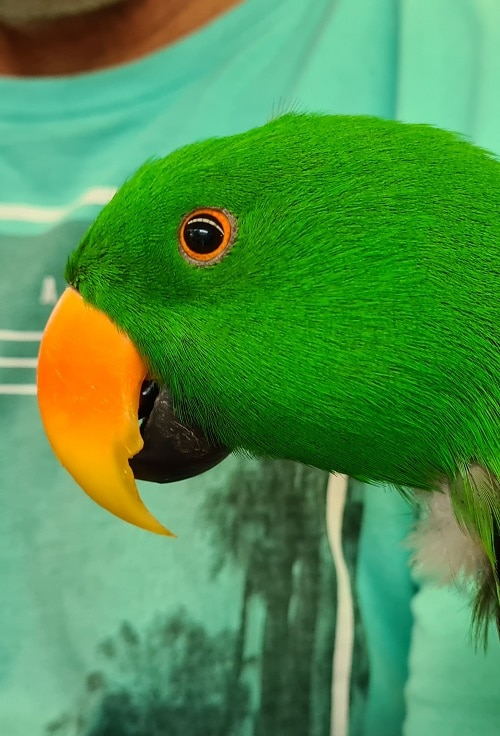 Close-up headshot of adult male green Eclectus parrot.