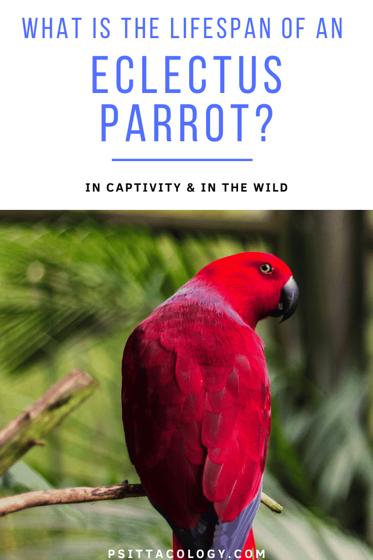 Red female Eclectus parrot | All about Eclectus parrot lifespan
