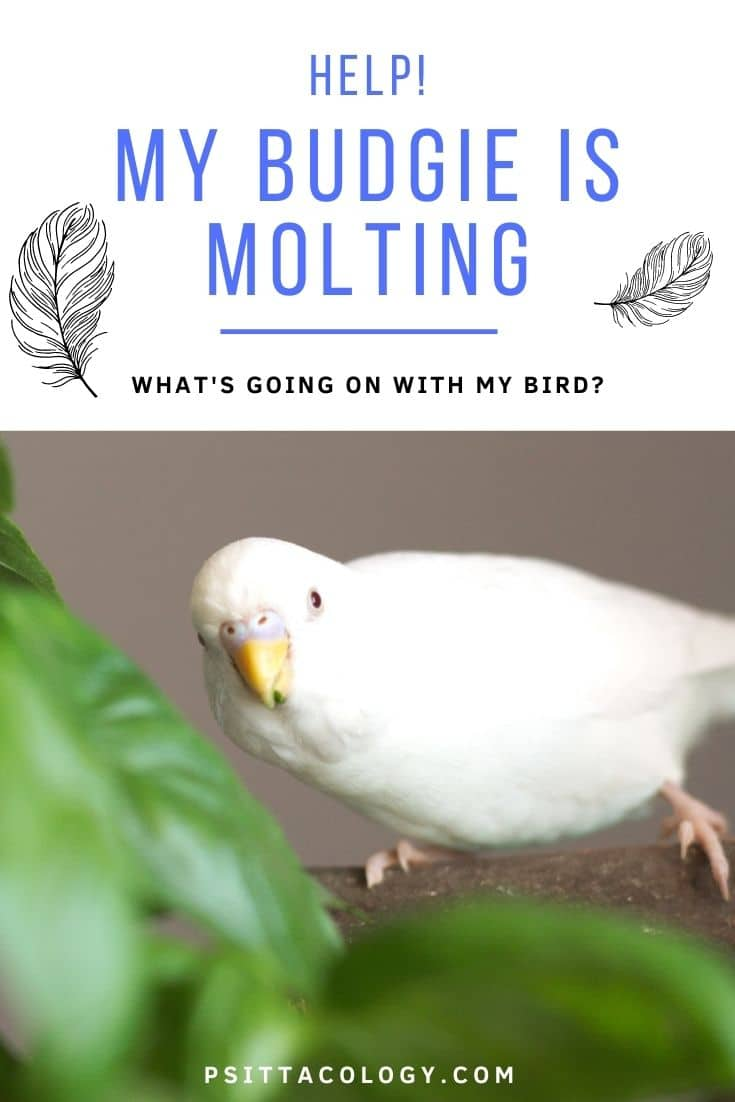 White budgie photographed from the front | Budgie molting, what to do?