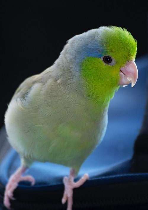 Green parrotlet (Forpus)   What is the ilfespan of a parrotlet?