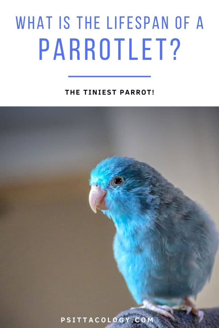 Blue parrotlet (Forpus)   What is the lifespan of a parrotlet?
