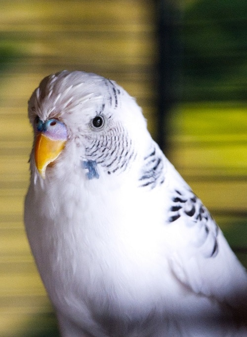 Budgie parakeet with white pinfeathers on its head during molt.