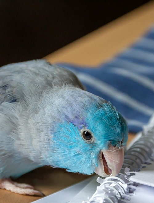 Blue parrotlet (Forpus) chewing on a spiral notebook.