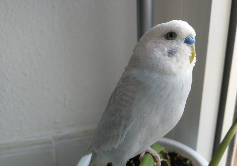 Blue dilute male budgie parakeet.