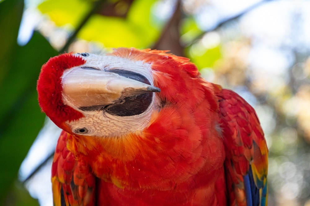 Red macaw parrot with curiously cocked head.