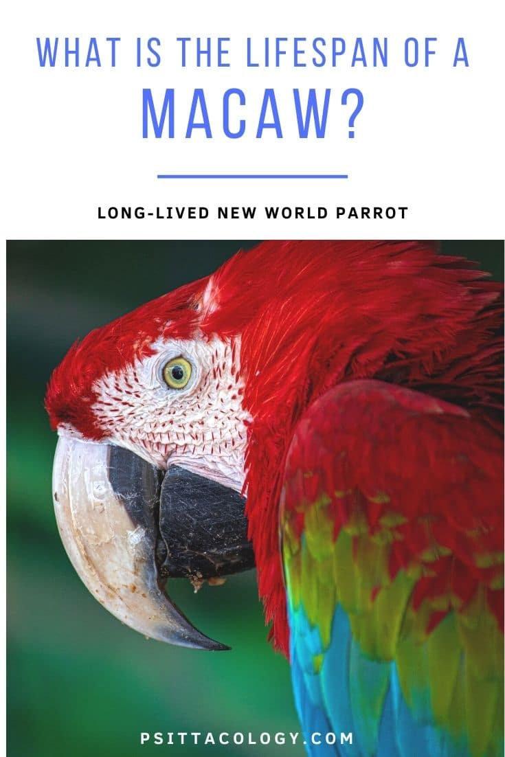 Green winged macaw parrot close-up | How long does a macaw live?