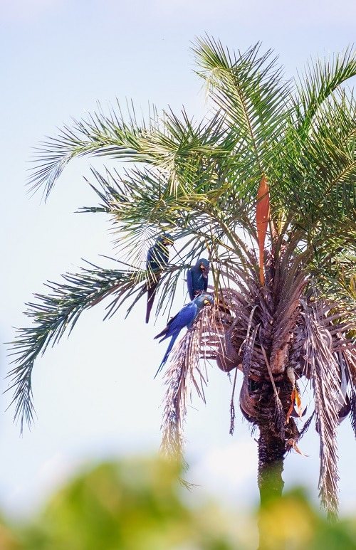 Wild hyacinth macaw parrots in a palm tree.
