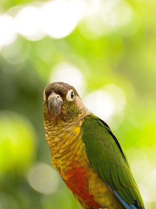 Green cheek conure parrot on green background.