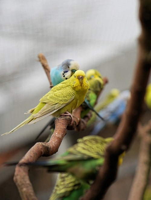 A group of budgies in an aviary perched on branches with a yellow-green female in front.