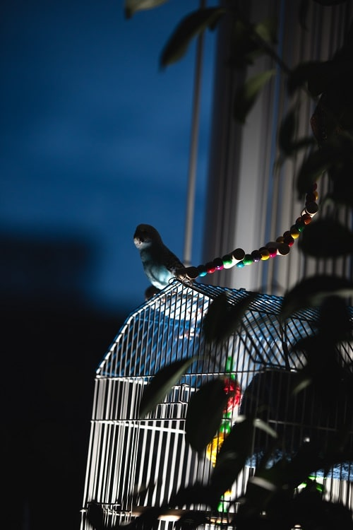 Budgie parakeet (Melopsittacus undulatus, a popular small pet parrot) on a cage at nighttime.