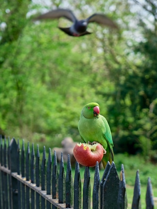 Indian ringneck parrot sitting on a fence eating a whole apple.