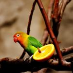 Lovebird parrot pictured next to a slice of orange.