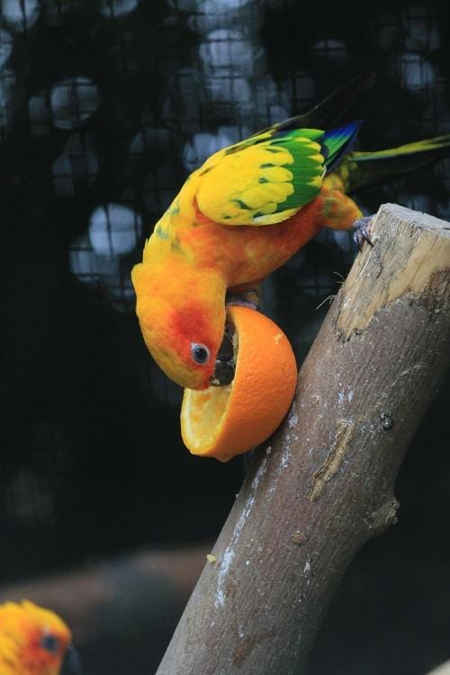 Sun conure parot (genus Aratinga) enjoying a halved orange.