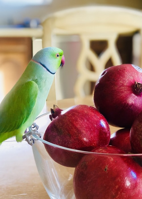 Indian ringneck parrot sitting on a glass fruit bowl filled with pomegranates.