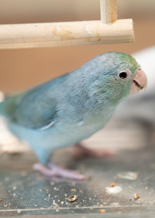 Blue Pacific parrotlet (Forpus coelestis) eating seeds.