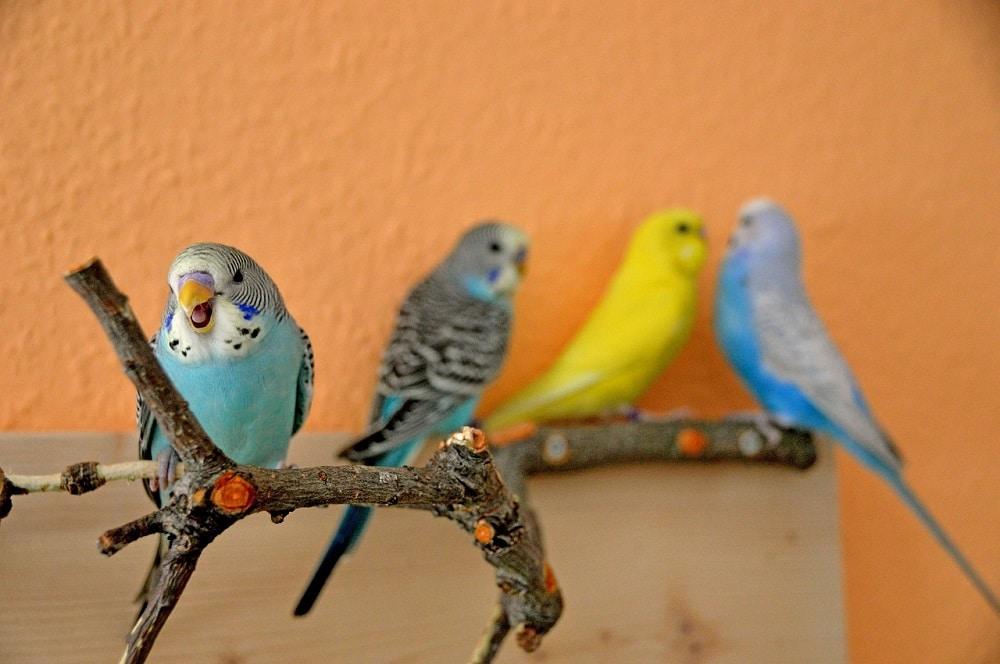 Four budgie parakeets (Melopsittacus undulatus), a popular pet parrot. | Are budgies loud?
