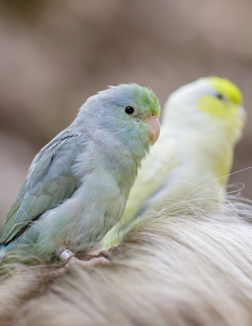 One blue and one green (background) Pacific parrotlet (Forpus coelestis0 on a person's head.