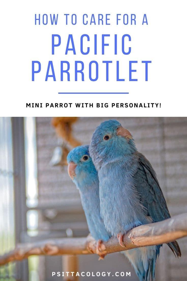 Two blue Pacific parrotlets (Forpus coelestis), a popular pet parrot.