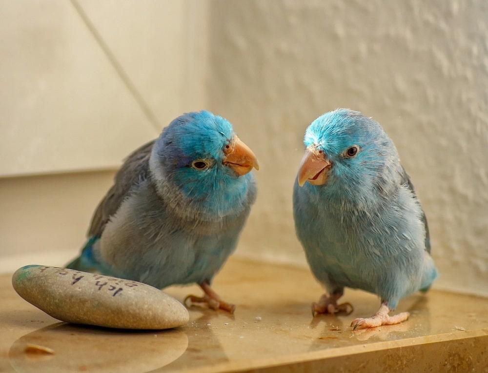 Two blue Pacific parrotlets (Forpus coelestis)