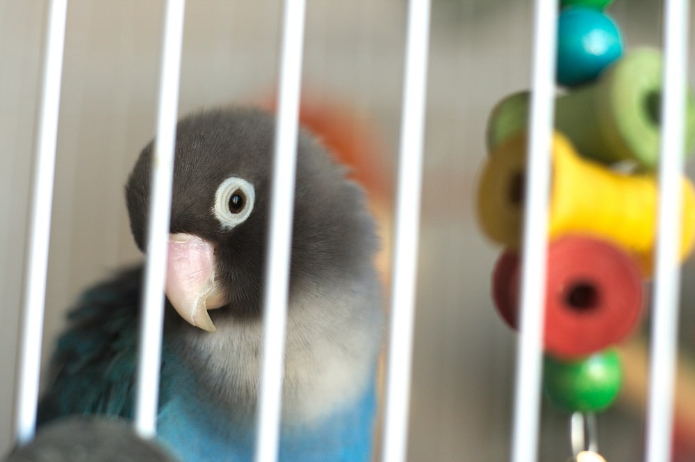 Blue mutation of a yellow-collared lovebird (Agapornis personatus), a popular pet parrot.